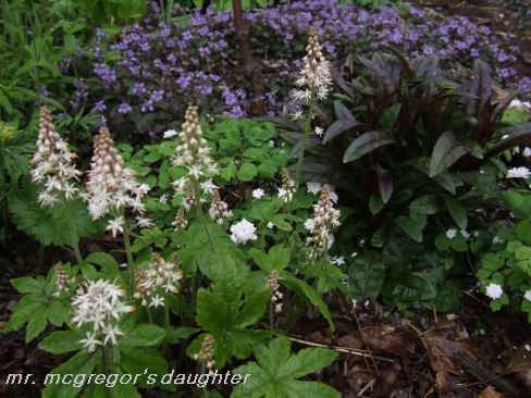 Will the Real Tiarella 'Iron Butterfly' Please Stand Up