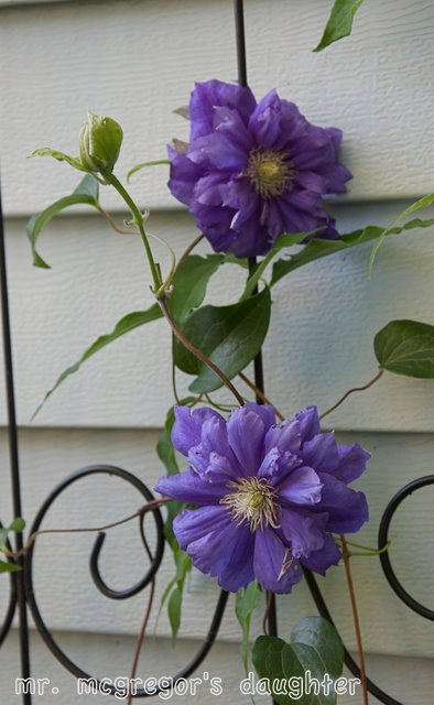 Success with Clematis: Planting