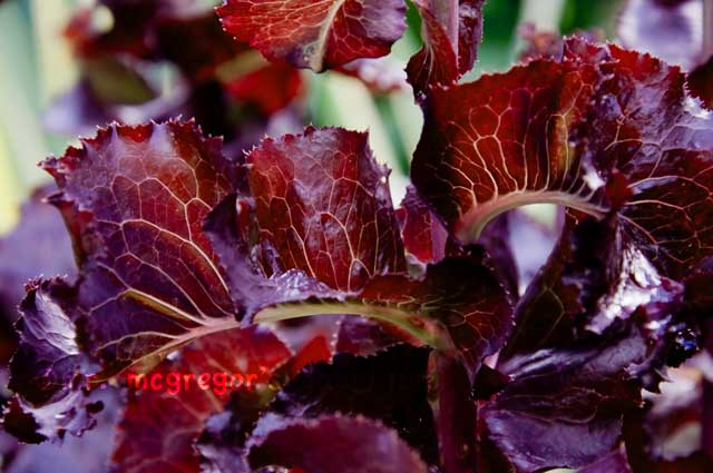 Beautiful Edibles Part III: Merlot Lettuce