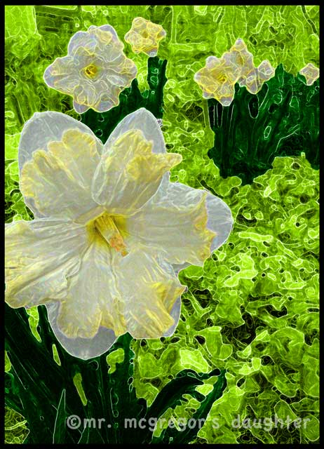 Last Night I Dreamed of Daffodils