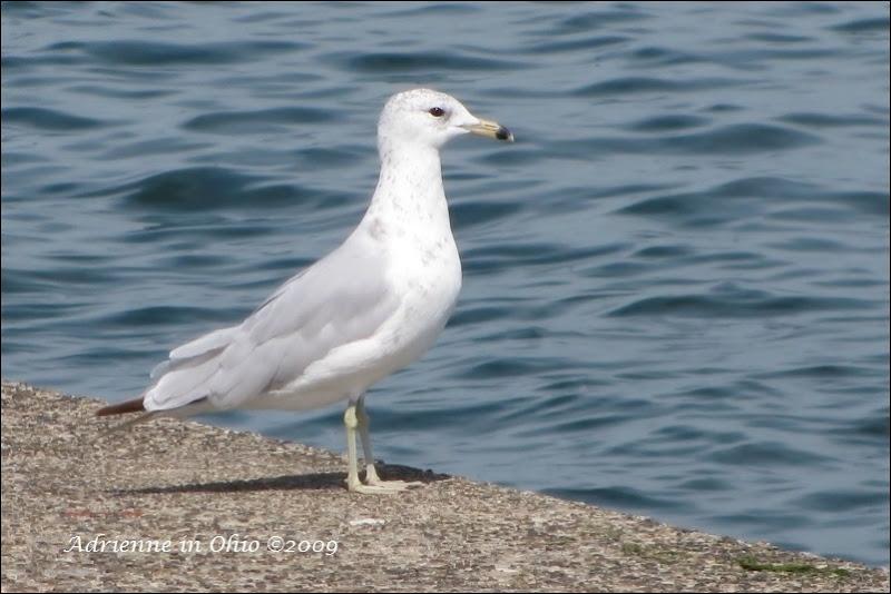 ring billed seagull photo by Adrienne Zwart