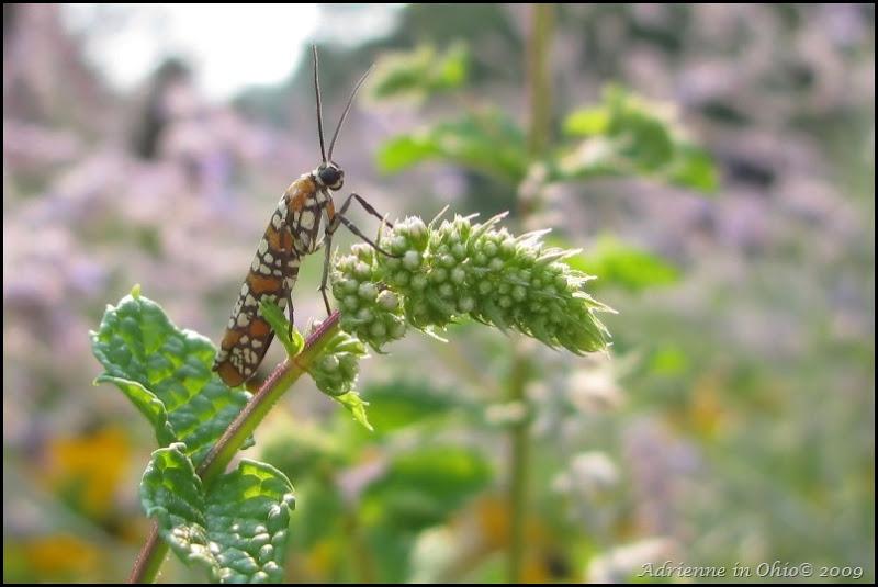 webworm moth2