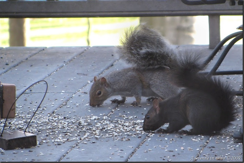 squirrels defeat squirrel-proof feeder