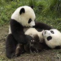 Pandas jugando.bmp