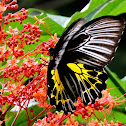The Southern Birdwing (female)