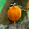 Ruppell's Robin-Chat