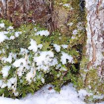 Nonflowering Plants & Mushrooms of the NorthEastern US
