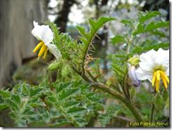 Las Plantas para la Salud: Espina colorada (Solanum