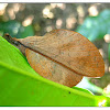 Lappet moths