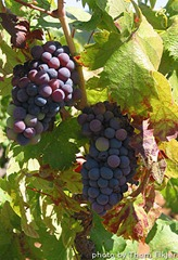 zinfandel-wine-grapes