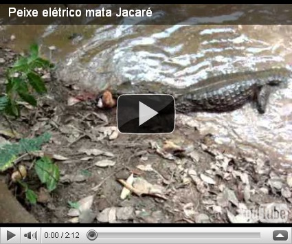 Alligator vs. Electric Eel (VIDEO) ~ The Nature Animals