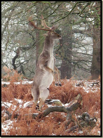 This stag clearly had itchy antlers