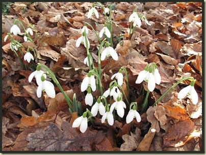Snowdrops (Galanthus elwesii)