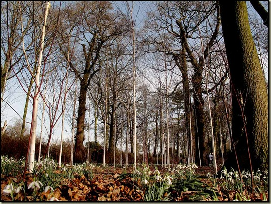 The gardeners keep these birch trees nice and clean to match the Snowdrops