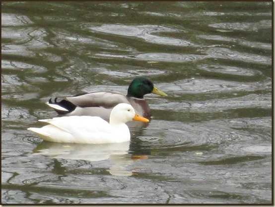 Mallards on the Bridgewater Canal