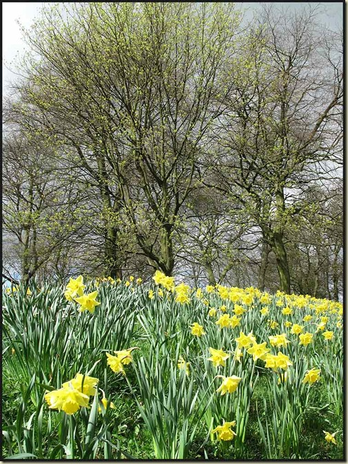 Daffodils by Haigh Hall