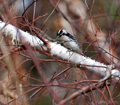 9. Downy Woodpecker-k