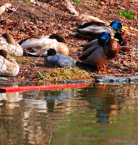 14. coot among ducks-k