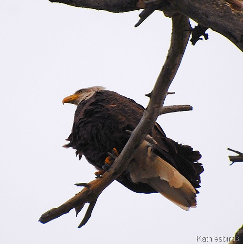 6. Bald Eagle-kab