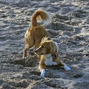Waiting for input by Axel K. Böttcher - Animals - Dogs Playing ( sand, waiting, dog )