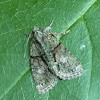 Tree-lichen Beauty Moth