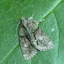 Tree-lichen Beauty Moth