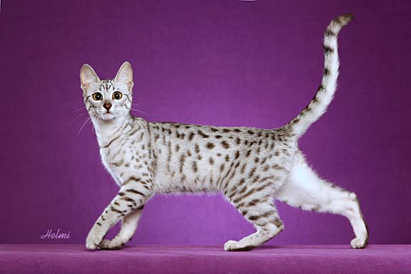 Egyptian Mau picture of a cat