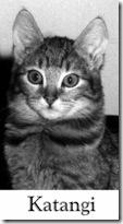 California Spangled cat Katangi