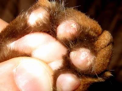 damaged front paw pads of a cat that has been declawed