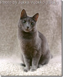 european shorthair cat1