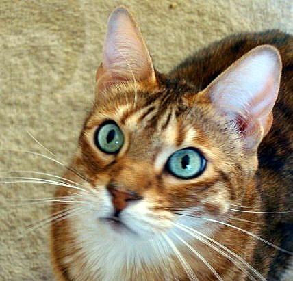 Chingo Savannah cat