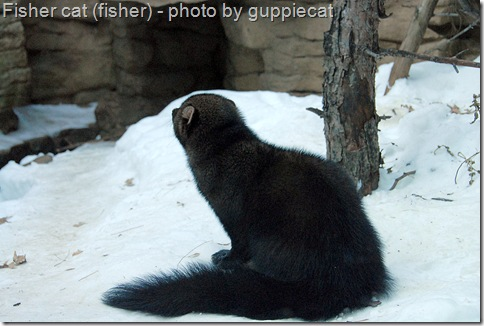 fisher cat