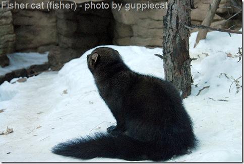 Fisher Cat Sounds Poc