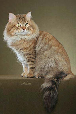 Siberian cat in the USA photo by Helmi Flick
