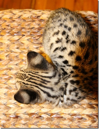 F1 Savannah kitten FOCUS