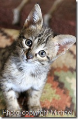 F2 Savannah kitten Florence