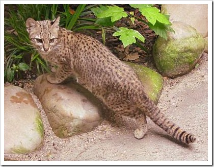 geoffroys-cat-1
