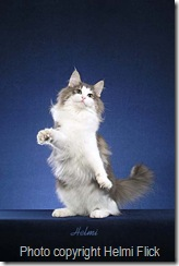 Norwegian Forest Cat on hind legs
