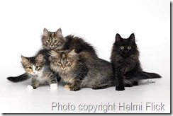 Norwegian Forest Cat - kittens on white