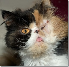 Abused Persian Cat