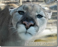 annoyed cougar in zoo