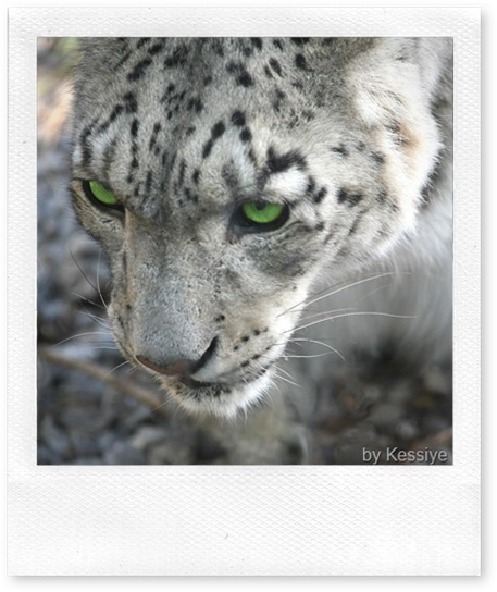 snow leopard head and eyes
