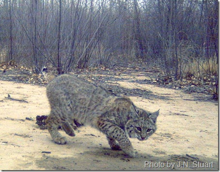 bobcat new mexico 2