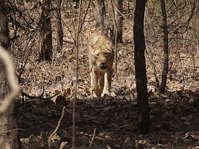Asiatic lion in Gir Forest