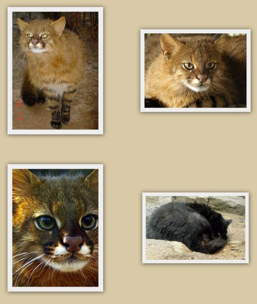 Pampas cat contact sheet