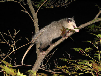 Opossum - larger prey of ocelot
