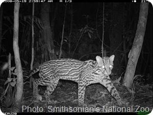 ocelot peru by Smithsonian's National Zoo