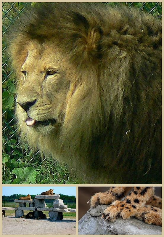 African Lion Safari park Ontario Canada