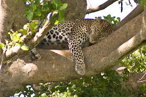 leopard sleeping in a tree in Serengeti National Park