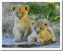 lion pictures lion cubs north carolina zoological park photo by ucumari
